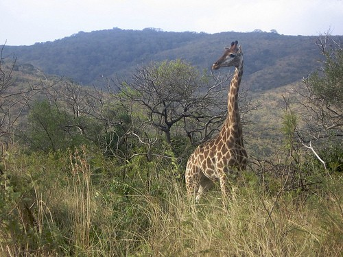 Giraffe At iMfolozi Game Reserve